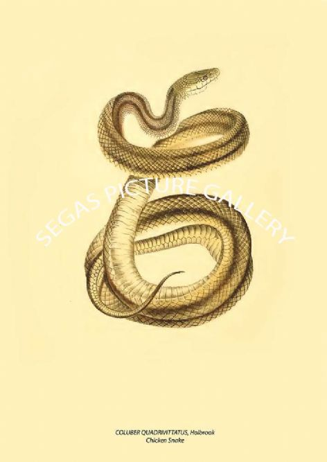 Fine art print of the COLUBER QUADRIVITTATUS, Holbrook - Chicken Snake by John Edwards Holbrook (1842)
